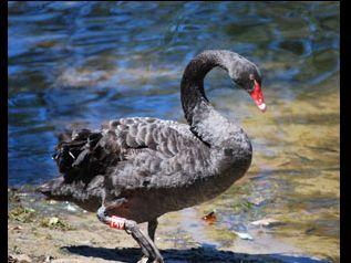 Black Swan Lake - Wildlife Queensland