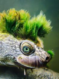 Wildlife Australia - Mary River turtle images by Chris Van Wyk